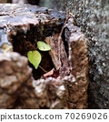 Young leaves growing from rotten timber 70269026