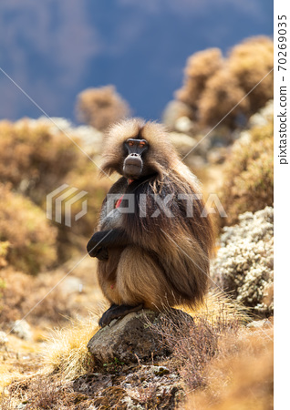 endemic monkey Gelada in Simien mountain, Ethiopia 70269035