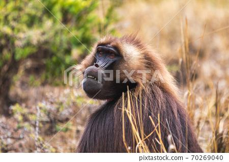 endemic monkey Gelada in Simien mountain, Ethiopia 70269040