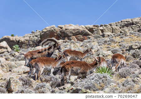 rare Walia ibex in Simien Mountains Ethiopia 70269047