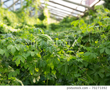 Greenhouse with rows of bitter cucumber 70271892