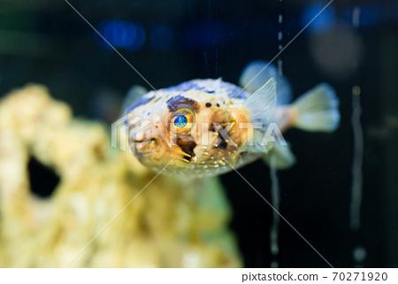 Spiny porcupinefish in aquarium 70271920