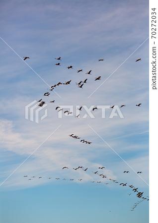 Flock of cranes flying in sky 70272034