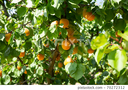 Apricots on trees at fruit plantation 70272312