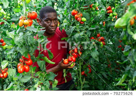 African american horticulturist harvesting red tomatoes in glasshouse 70275626