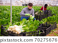 Chard harvesting process in a greenhouse 70275676