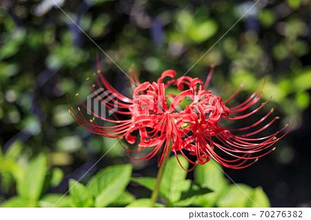 나바 나노 사토 가을의 꽃 70276382