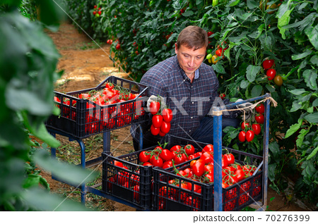 Male farmer harvesting red tomatoes in greenhouse 70276399