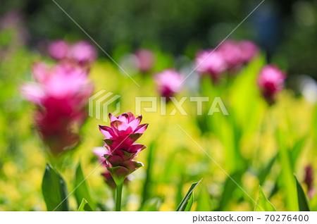 나바 나노 사토 가을의 꽃 70276400