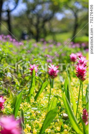 나바 나노 사토 가을의 꽃 70276406