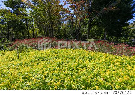 나바 나노 사토 가을의 꽃 70276429