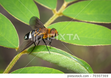 Image of hoverfly on green leaf. Insect. Animal. 70307369