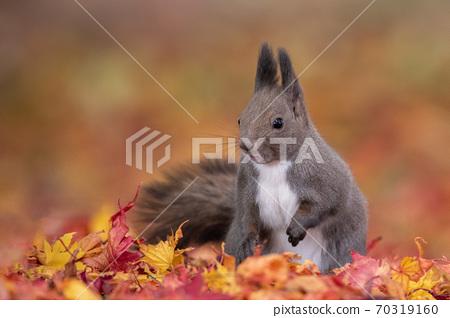 낙엽 속에 자리 잡은 다람쥐 70319160