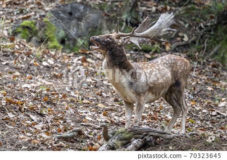 fallow deer in love season 70323645