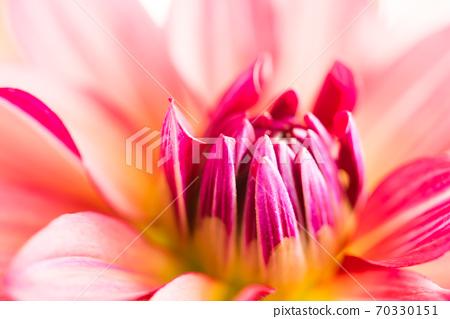 鮮花非洲菊 70330151