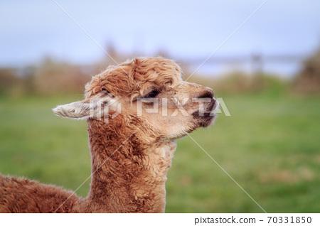 close up head of new zealnd alpaca against green blur background 70331850