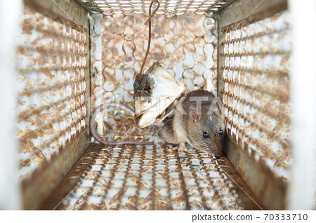 Close-up of a rat trapped in a mousetrap cage, Rodent control cage in house. 70333710