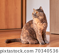 Photo of a British shorthair cat with big eyes. She is sitting on the wooden floor 70340536