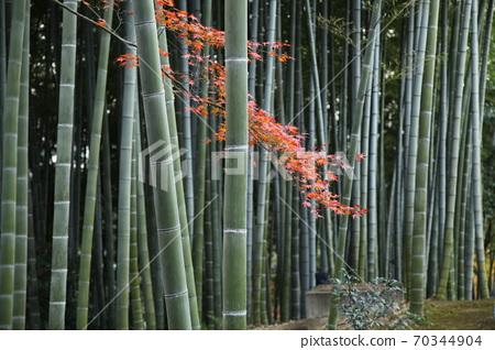 교토의 대나무와 단풍 70344904