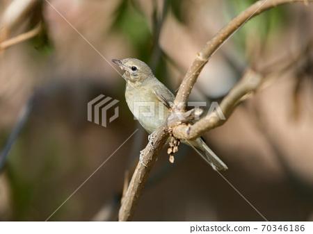 Slightly Unhealthy Garden Warbler (Sylvia borin) i 70346186