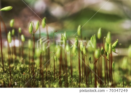 Small moss plant on the ground with selective focus 70347249