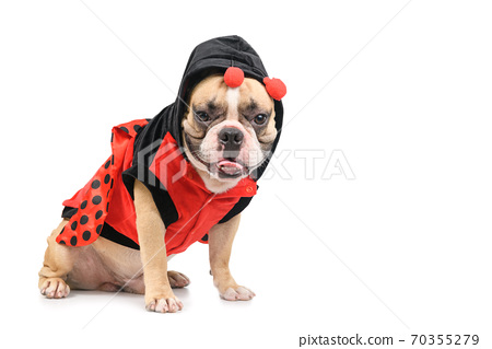 Adorable French Bulldog wearing a cute and funny Ladybug costume isolated 70355279