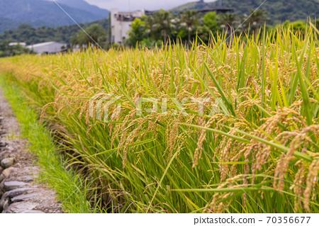 宜蘭,Hitata,Golden稗,台東池上,白郎大同,池上稻米,台丹,秋田,小寒 70356677