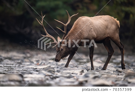 Wild Elk During Rut  70357399