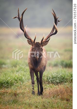Wild Elk During Rut  70357520