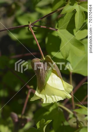 Levant cotton 70370464