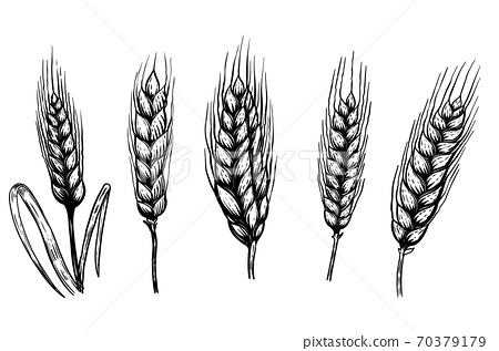 Set of hand drawn wheat illustrations isolated on white background. Design element for logo, label, emblem, sign. 70379179