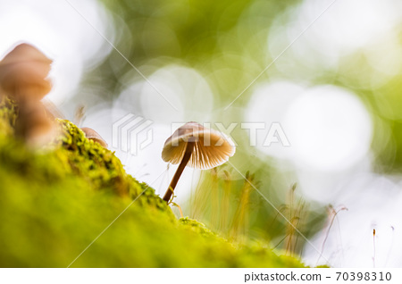 후지산 기슭 수해 귀여운 버섯 70398310