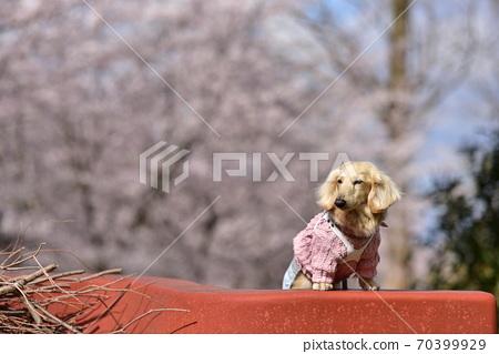 닥스와 벚꽃 70399929