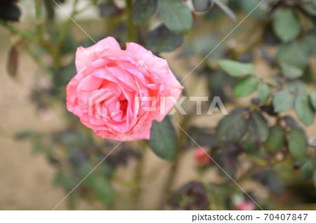 핑크 장미 품종 : 마 노르망디 70407847
