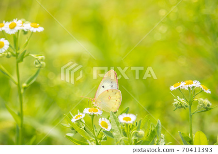 蝴蝶 花 昆蟲 70411393