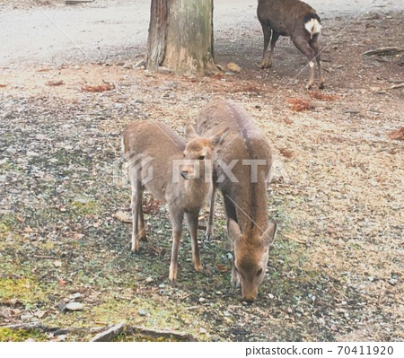 나라에있는 부모와 자식의 사슴 70411920
