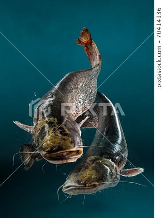 Close up photo of wild river catfish on dark blue background 70414136