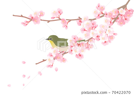 Vector illustration of Japanese white-eye perching on a branch of cherry blossoms 70422070