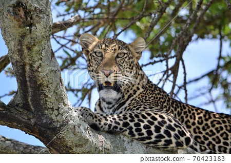 A leopard hidden in the thicket of a tree 70423183