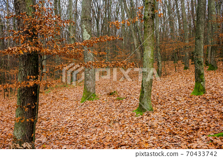 forest and fallen foliage in november. dry leaves on the ground. leafless branches and trunks with moss. calm nature scenery. 70433742