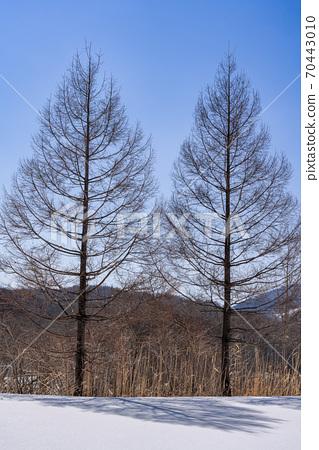 兩個唐松和晴朗的冬日 70443010