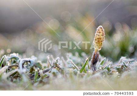 早春馬尾霜凍生長 70443593