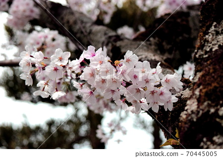 나뭇 가지에 흘러 넘치 듯이 피는 벚꽃 (교토) 70445005
