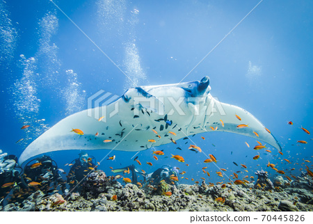 Huge Manta Ray with Clingfish over the bottom of the Indian ocean 70445826