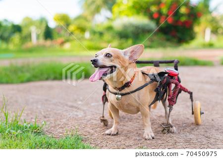 Cute little dog in wheelchair or cart walking in grass field.. 70450975