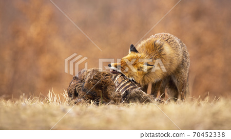 Hungry red fox eating on meadow in autumn nature. 70452338