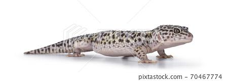 Leopard Gecko on white background 70467774