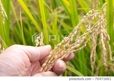 水稻栽培和生產經營檢查圖片(9月) 70471661