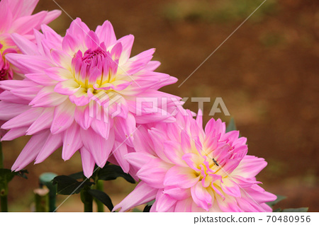"A pink dahlia named ""Yume"" (3) 70480956"