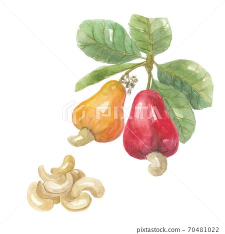 캐슈 잎있는 과일과 씨앗 70481022